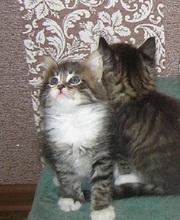Шерлок и Ватсон - расцветка вискас,  метисы (2 мес.,  мальч.)