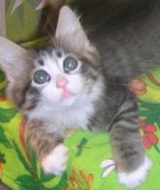 Ватсон и Пэппи - домашние котята (мальч.и дев.,  2 мес)