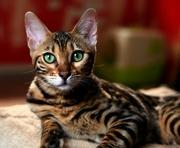 Продается бенгальская кошечка