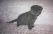 Котята  скоттиш- фолд по  доступной цене!