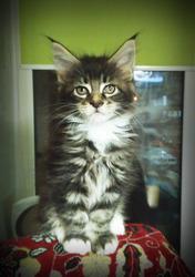 Мейн-кун,  чистокровные котята