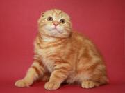Вислоухий котенок,  мальчик