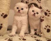 Потрясающие шотландские котята