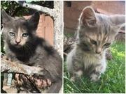 Трехцветные котята пепельного окраса
