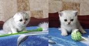 Профессионально выращенные чистокровные шотландские котята